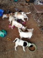 the 7 little terriers...they were a handful but are all in happy homes