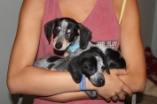 3 little doxies (one missing) and 7 tiny terries came to the rescue as an emergency. All have happy homes!
